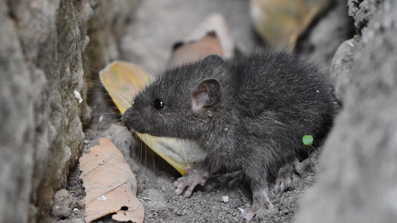 https://japaneserealestate.co.jp/wp-content/uploads/2019/11/Human-Mouse-Hyrid-Japan-Japanese-Scientists-1280x720.jpg